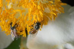 bijen op een gele bloem foto