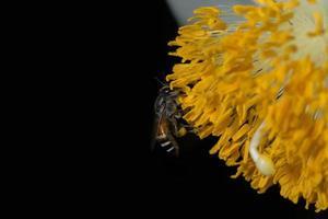 bij op een gele bloem foto