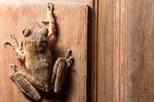 polypedates leucomystax op houten achtergrond foto