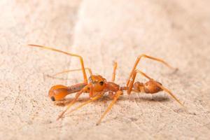 kerengga mierachtige jumper spider
