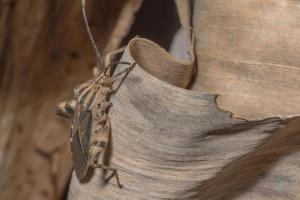 hemiptera insect, close-up