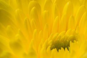 gele chrysanthemum bloem foto