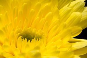 gele chrysanthemum bloem