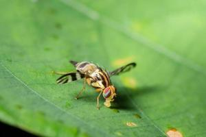 fruitvlieg op een blad foto