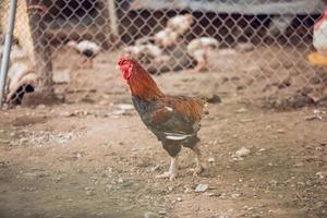 haan in een kippenhok foto