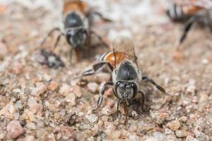 bijen die op de grond eten