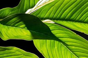 groene blad achtergrond, close-up foto