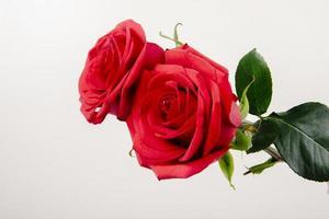twee rode rozen geïsoleerd op een witte achtergrond