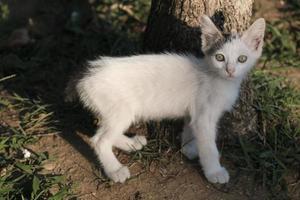 kleine witte kitten kijkt naar de camera foto