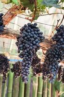 druiven hangende wijnstokken foto