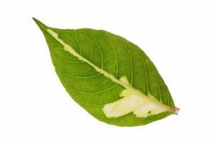 blad op witte achtergrond foto