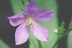 violette bloem, close-upfoto