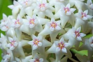 hoya bloemen, close-up foto
