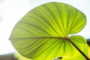 close-up van een groen vijverblad foto