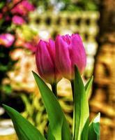 close-up van roze tulpen