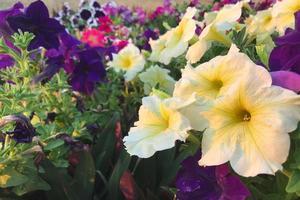 petunia bloemen in een tuin foto