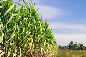 suikerriet veld foto