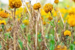 verwelkte gele bloemen foto