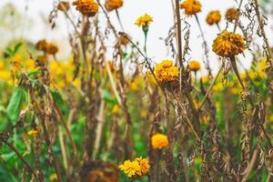 gele bloemen in een veld foto