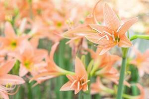 oranje amaryllis bloemen foto