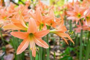close-up van amaryllisbloemen foto