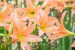 oranje daglelie bloemen foto