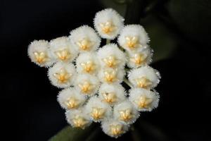 witte hoya-bloem