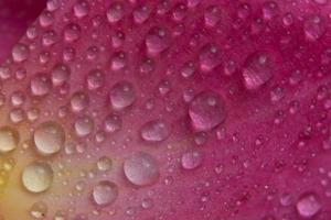 waterdruppels op de bloembladen van een roze roos
