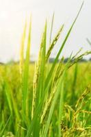 groene rijst veld close-up