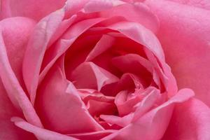 roze roos close-up