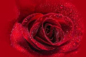 waterdruppels op een rode roos