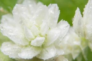 witte wilde bloem