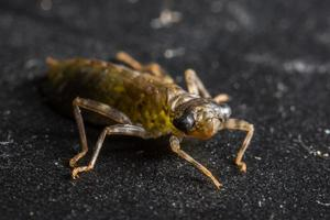 libellarven op zwarte achtergrond foto