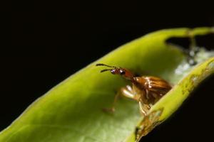 curculionoidea insect op een blad foto