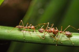 rode mieren op een plant foto