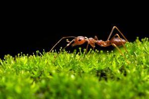 mier in het gras foto