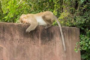 aap op een muur