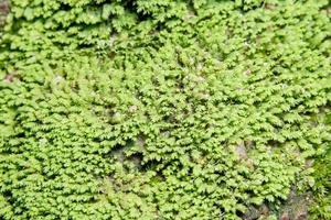 groen litchi mos close-up