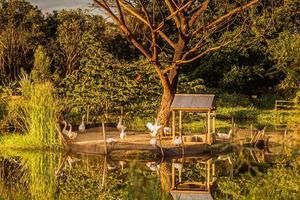 zonlicht reflectie in vijver met groep gans in de buurt van vijver omgeven door natuur bos. foto