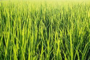 levendig groen gras foto
