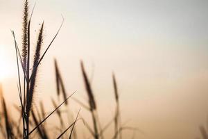 wild grassilhouet tegen gouden. mooie herfst seizoen achtergrond wild gras met zonsondergang en blauwe hemel in de herfst. aartjes in het veld bij zonsondergang. de textuur van gras bij zonsondergang. foto