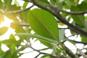 close-up van plumeria bladeren