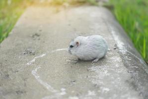 hamster op beton foto