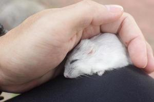 hamster die een dutje doet foto