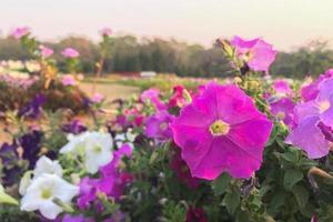 roze en witte petunia bloemen foto