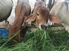 koeien die gras eten op de boerderij