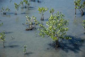 mangrovebos in Thailand foto