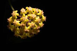 gele hoya bloem op zwarte achtergrond