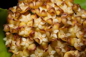 hoya bloemclose-up