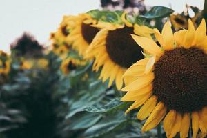 selectieve focus van zonnebloem foto